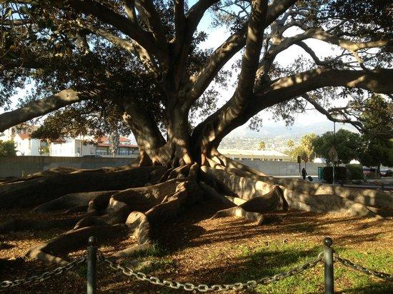 Moreton Bay Fig Tree : Big one