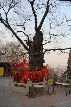 Old Pine Trees of Jietai Temple : ритуальные деревья в Jietai Temple