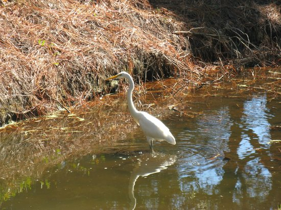 Hilton Head Island Bike Trails: Egret by the side of the road