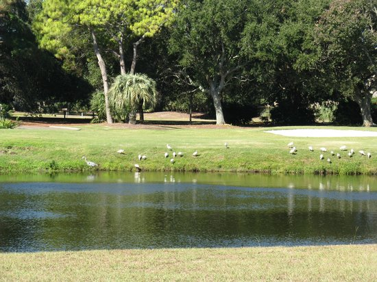 Hilton Head, Carolina del Sur: Egrets on the golf coarse