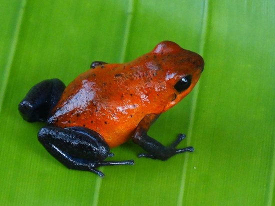 Tilajari Hotel Resort : Dart frog on a nearby river excursion