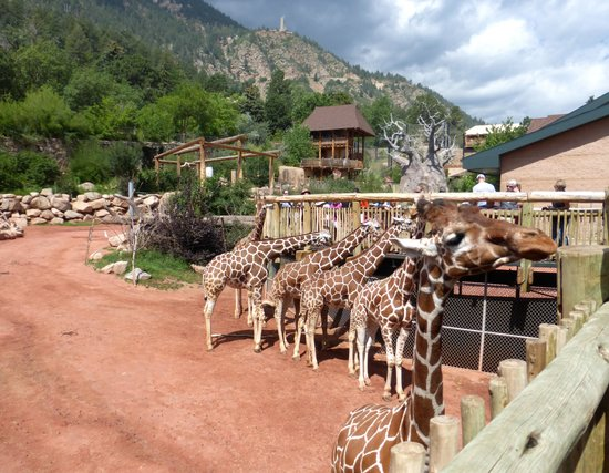 Cheyenne Mountain Zoo: this is only a few of their reticulated giraffe population!