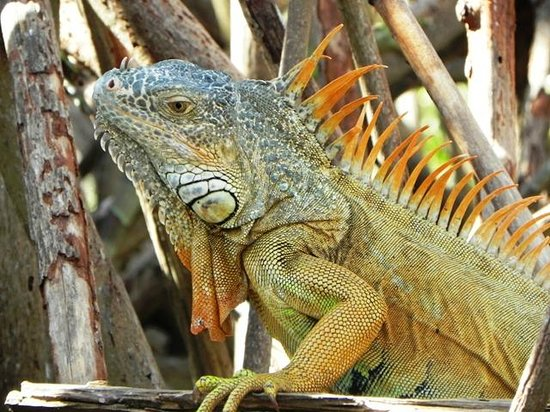 La Ventanilla : Iguana