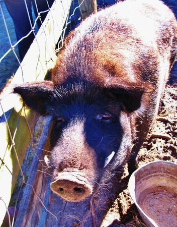 Florida Agricultural Museum : Wild Boar (OK to pat him)