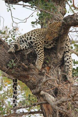 Umlani Bushcamp: What a beauty female leopard