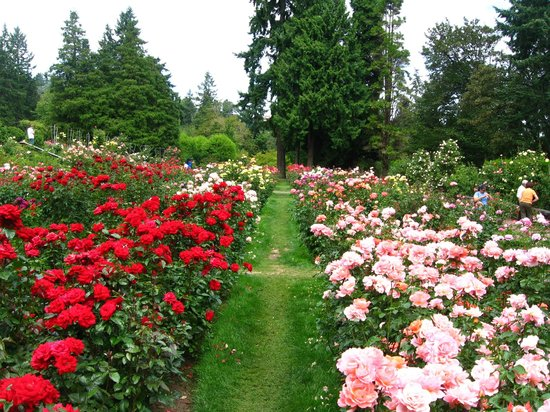 Rose garden picture of international rose test garden portland tripadvisor for Portland international rose test garden