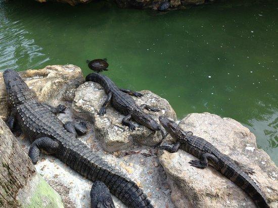 International Palms Resort & Conference Center : Coin alligators, intéressant