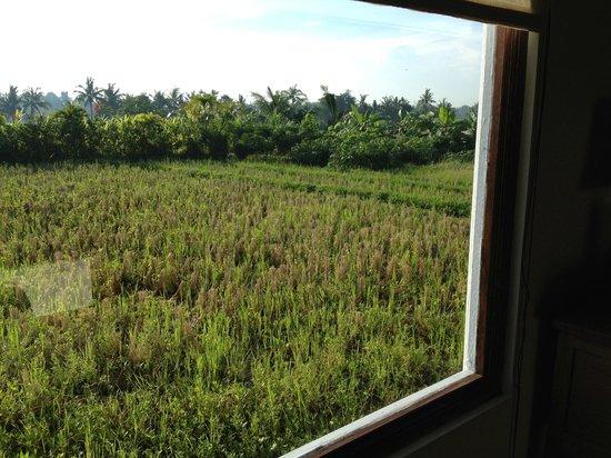 Kubu Kedungu: View of rice fields  from my room