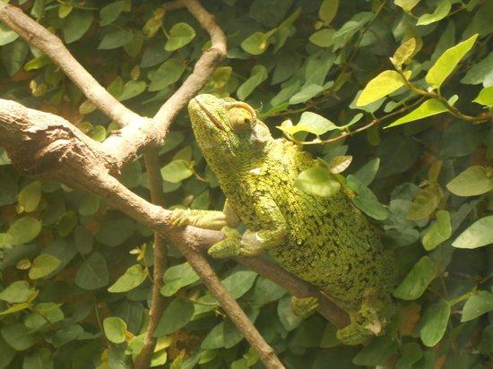 Reptile Park: My kids called this Chameleon 'Rango'