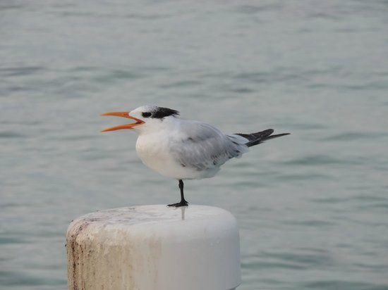 Wyndham Reef Resort: Rotal tern on the dock