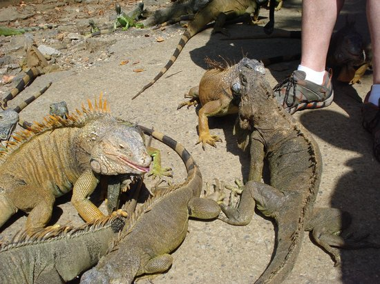 Arch's Iguana and Marine Park: Watch your step
