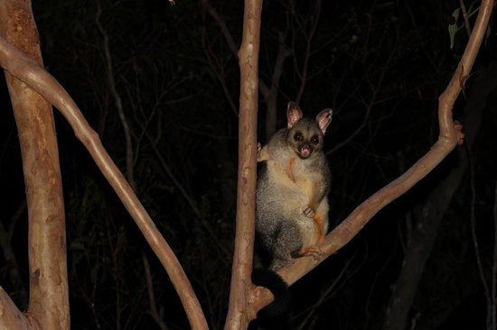 Allawah Retreat: A possum seen from our terrace