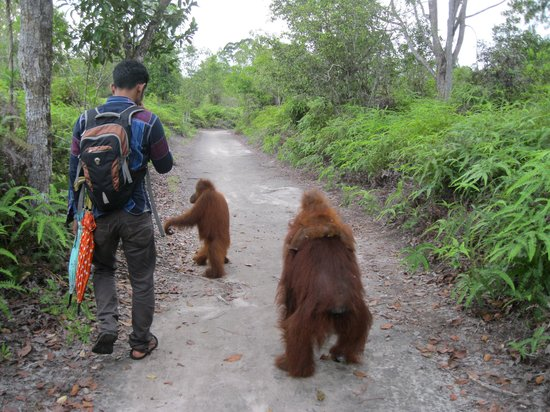 Rimba Orangutan Eco Lodge: A stroll with other new friends