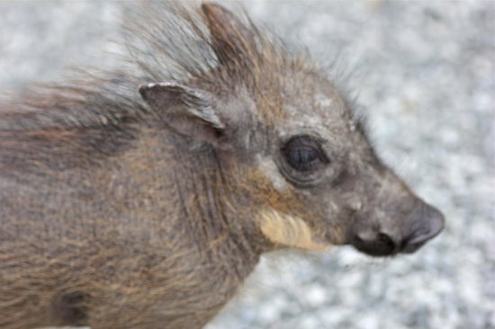 Nambiti Game Conservancy: Basil, the baby warthog.