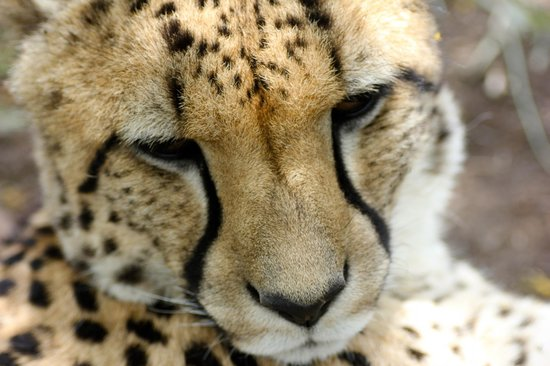 Nambiti Game Conservancy: Cheetah dozing in the sun.