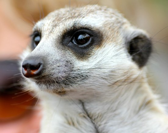 Nambiti Big 5 Private Game Reserve: Liitle Zulu the meercat who happily comes for a cuddle in visitor's arms.