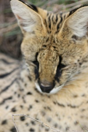 Nambiti Game Conservancy: The Serval cat can jump 3 metres into the air to catch birds.