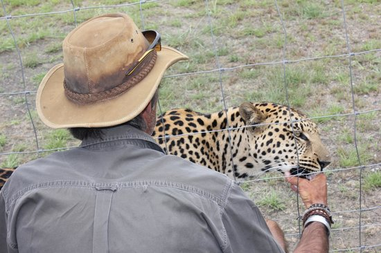 Nambiti Game Conservancy: The leopard uses the ranger's thumb as a dummy.
