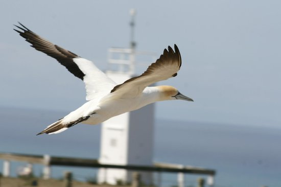 Cape Kidnappers: my best photo of the gannets