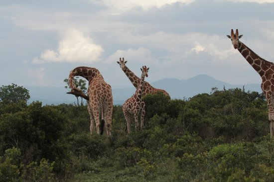 Aberdare Country Club: highPod of giraffes?
