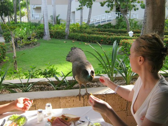 Vista Sol Punta Cana: кормление павлина