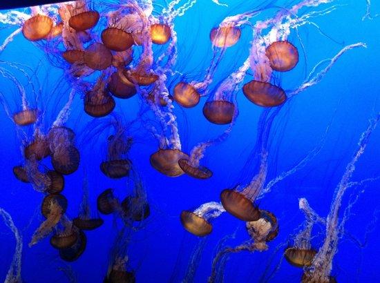 Monterey Bay Aquarium: Agua viva!