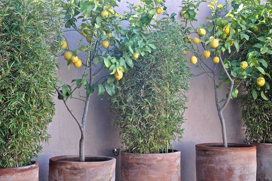 Riad Idra : les citronniers du toit terrasse