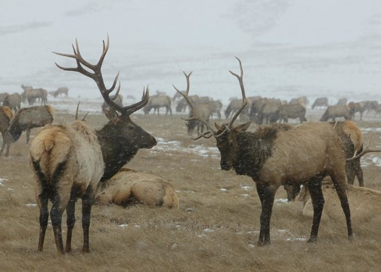 National Elk Refuge: Some male Elk who drop their antlers every year to grow new ones.
