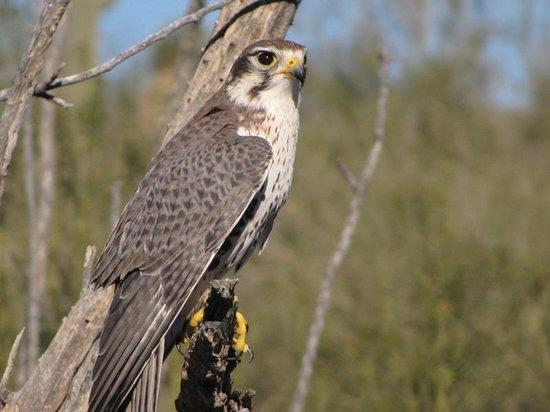 Arizona-Sonora Desert Museum: Falcon