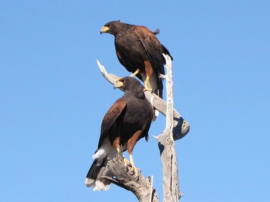 Arizona-Sonora Desert Museum: Harris Hawks