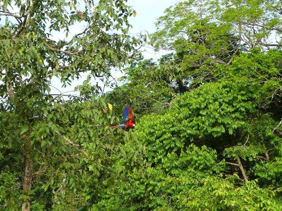 El Remanso Lodge: Scarlet Macaw