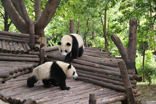 Giant Panda Breeding Research Base (Xiongmao Jidi): Pandas