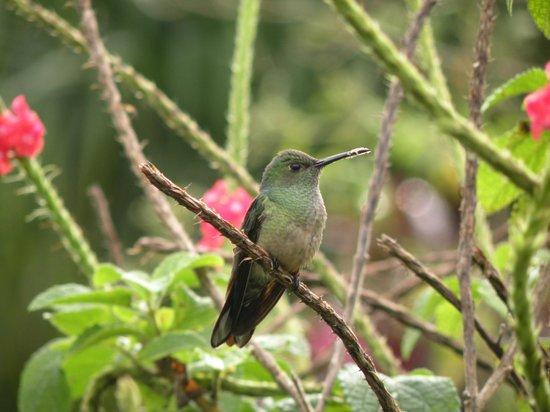 Volcano Lodge & Springs: Humming bird