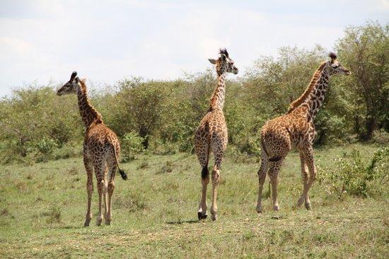 Tipilikwani Masai Mara Camp: Giraffe