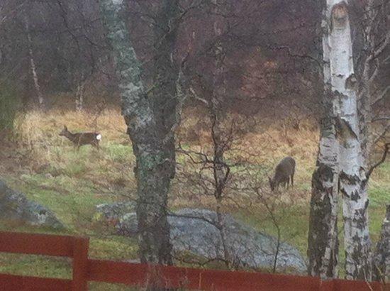 Cairngorm Highland Bungalows: Wild deer roaming near back garden.