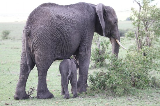Tipilikwani Masai Mara Camp: ELEPHANT WITH BABY