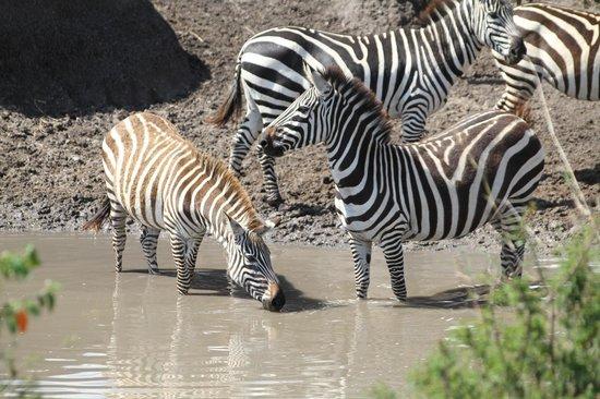 Tipilikwani Mara Camp - Masai Mara: Zebra at watering hole