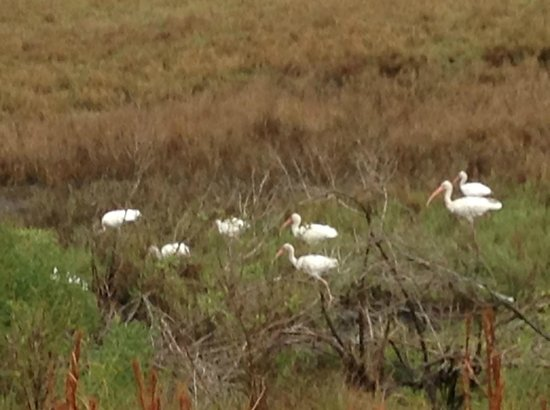 The Lodge on Little St. Simons Island: Ibis on a picnic