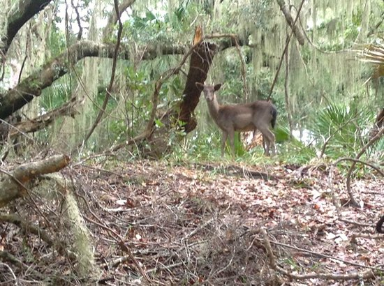 The Lodge on Little St. Simons Island: Deer in the deep forest