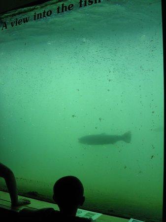 Bonneville Lock & Dam: Bonneville Dam fish ladder