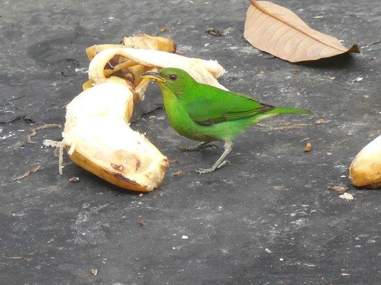 Copalinga: common feeder bird