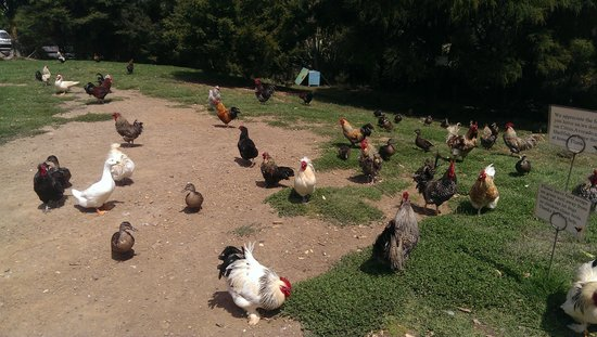 Waiheke Island Wine Tours: even toured the rooster hangout!