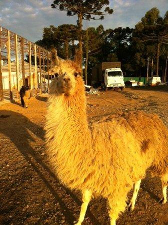 Hotel Fazenda Pampas: lhamas