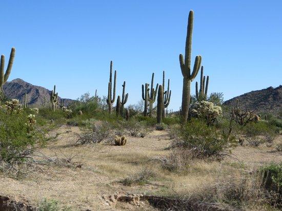 Cabeza Prieta National Wildlife Refuge: Saguaros along the road