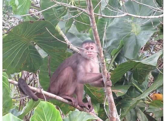 Napo Wildlife Center Ecolodge: Egg-thief Monkey