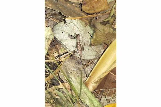 Napo Wildlife Center Ecolodge: Little Anole