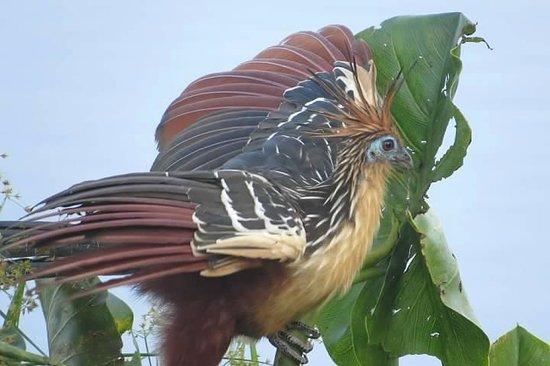 Napo Wildlife Centre: Hoatzin - so Prehistoric