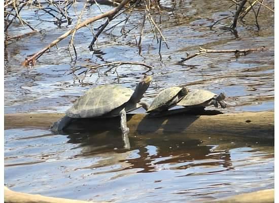 Napo Wildlife Centre: Turtle
