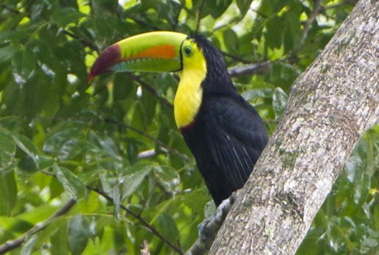 Villas Pico Bonito: Keel-Billed Toucan