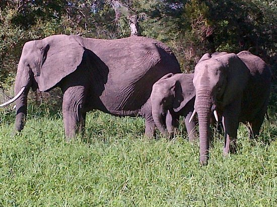 Notten's Bush Camp : from a parade of 40 elephants!